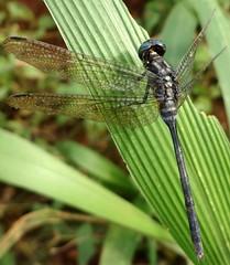 orthetrum saegeri (dotun55) Tags: nature insect nigeria odonata