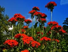 Brennende Liebe - Burning Love (fleckchen) Tags: rot natur himmel blumen garten blüten sommerblumen roteblüten brennendeliebe sommerblüten