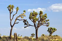 Anglų lietuvių žodynas. Žodis yucca brevifolia reiškia <li>yucca brevifolia</li> lietuviškai.