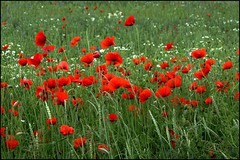 Poppies 3 (www.nielsdejgaard.dk) Tags: poppy herlev valmue hjeortespringkilen