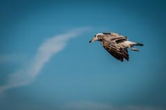 Funny Seagull (Explore) (svenpetersen1965) Tags: bird pose flying funny seagull croatia kroatien baka galeb primorjegorski