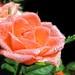 2014-Rose