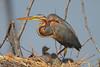 Purple Heron (Rainbirder) Tags: kenya ngc npc purpleheron ardeapurpurea lakebaringo rainbirder
