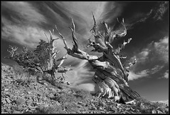A Pair of Bristlecone Pines at Schulman Grove (K-Szok-Photography) Tags: california blackandwhite monochrome canon outdoors whitemountains canondslr bristleconepines inyonationalforest innamoramento goldcollection canon5dmk2 kenszok skancheli kszokphotography