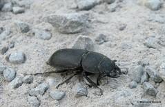 Dorcus parallelipipedus (*manuela*) Tags: karlsruhe rhein arthropoda coleoptera insecta lucanidae polyphaga dorcusparallelipipedus artropoda