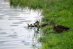 going for a swim (ashlyn.maria) Tags: old family brown lake cute grass kids swimming children daddy mom duck dad babies little father beak feathers duckling young mother adorable ducks fluffy ducklings mama quack duckies