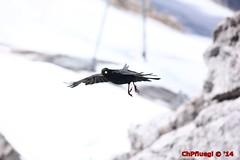 IMG_0194 (Pfluegl) Tags: wallpaper berg christian alpen dachstein steiermark hintergrund pfluegl ramsau dohlen dohle höchster kalkalpen öberösterreich pflügl