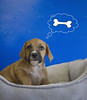 Kevin Thinking Bones (Immature Animals) Tags: blue boy arizona rescue baby male animal animals puppy mix lab flickr labrador tucson young ears canine pit marshall pitbull pima derek bones boxer immature adopt petco petfinder koalition pacc petcofoundation immatureanimals