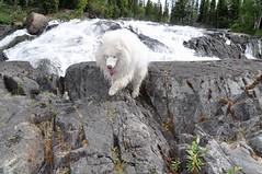 Kody (nwtarcticrose) Tags: samoyed rapids kody wetdog samoyeds cameronriver