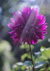 Future Bright 347/365 (Maggggie) Tags: 365 dahlia flower garden purple sun light streaming 306 explored