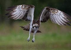 Osprey (Markp33) Tags: