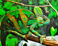 Chameleon* (Tim Sells) Tags: wild nature animal nikon colorful reptile planet chameleon 100comments nikonflickraward