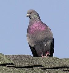 Rock Pigeon (crossarthur76) Tags: pigeons