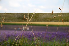 More lavender picking (judi may) Tags: sky texture clouds fence dof bokeh farm lavender grasses hitchin ickleford hitchinlavender canon7d hitchinlavenderfarm fencefriday