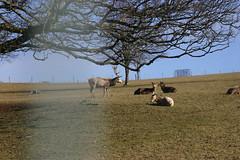 Deer at Castle Culzean