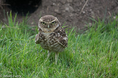 Small Burrowing Owl (BrianC53) Tags: america nikon south small north owl burrowing d5200