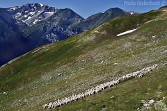 Pecore al pascolo, grazing sheep (paolo.gislimberti) Tags: mountains montagne herbivores mammals marche mountainlandscape pastorizia erbivori mammiferi parcodeimontisibillini paesaggiodimontagna alpinegrassland montisibillininp stockraising prateriaalpina