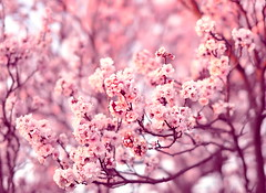 pink blossom (bbvn_1) Tags: pink cherry 50mm spring nikon bokeh 14 sigma melbourne friday d90