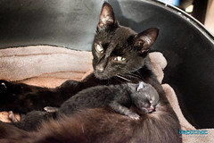 I love my Mom! (Breatnac Photography) Tags: new cat photography born kitten labor birth kittens queen labour queening breatnac