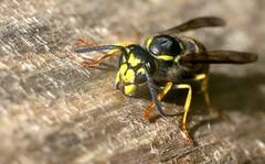 Vespula germanica w - 13 VIII 2014 (el.gritche) Tags: france garden 40 behavior hymenoptera germanica vespula vespidae vespulagermanica