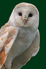 Barn Owl - Explore(d) (Lark Ascending) Tags: bird raptor owl predator barnowl carnivore tytoalba
