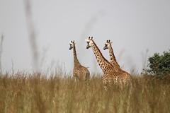IMG_4264 (Jarod Burns) Tags: africa nationalpark kenya wildlife nairobi safari giraffe nairobinationalpark