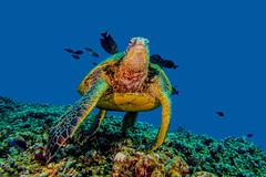 turtle4July16-14 (divindk) Tags: ocean cute hawaii marine underwater unitedstates turtle maui honu reef seaturtle graceful cheloniamydas clearwater greenseaturtle endangeredspecies honoluabay underwaterphotography symbiosis hawaiianislands cleaningstation mauicounty bestfreinds diverdoug honaloabay