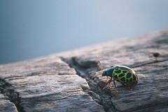 Esos Raros Colores Nuevos (emiliokuffer) Tags: naturaleza macro verde green nature closeup bug ladybug bicho greenladybug vaquitadesanantonio calligraphapolyspila