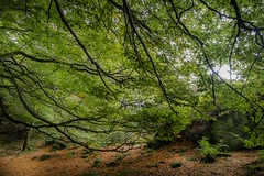 ANCIENT BEECH WOOD (rupertilkley) Tags: uk trees colour woodland landscape grit yorkshire millstone gb geology beech