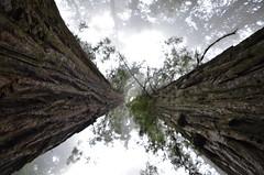 park usa tree fog rainforest grove redwood ladybirdjohnsongrove