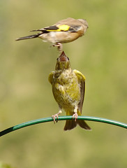 Greenfinch and Juvenile Goldfinch (Feathers (Joe)) Tags: wild bird nature lumix sussex wildlife feathers east panasonic area care salehurst fz200