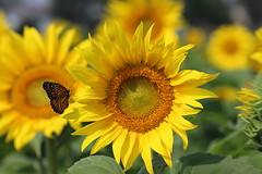 Sunflower and Butterfly (Monarch) (pegase1972) Tags: sunflower flower québec quebec canada montérégie monteregie qc butterfly licensed rf123 fotolia explore explored 123rf eyeem adobestock adobe