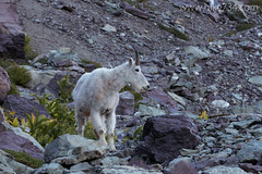 "Mountain Goat • <a style=""font-size:0.8em;"" href=""http://www.flickr.com/photos/63501323@N07/15229322321/"" target=""_blank"">View on Flickr</a>"