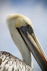 (Franq) Tags: chile naturaleza bird nature animal pelican pjaro viadelmar pelcano