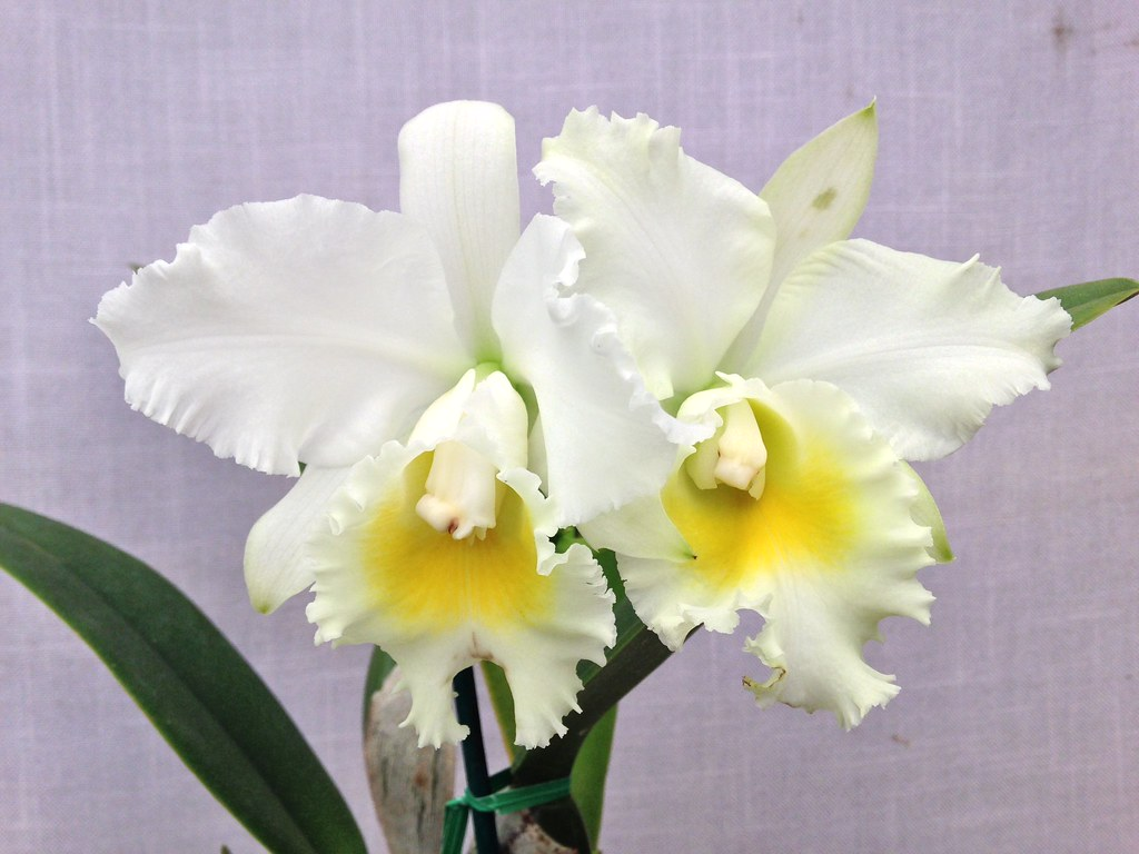 The world 39 s best photos of cattleya and for Orchidea cattleya