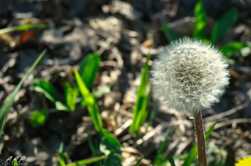 Make A Wish (REA // Photography) Tags: plants plant weeds weed perspective dandelion pointofview wishes wish wishing