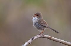 superb fairywren (Malurus cyaneus)-3 (rawshorty) Tags: birds australia canberra act jerrabomberrawetlands rawshorty