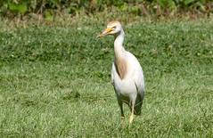 Cattle Egret (Baltimore Bartender) Tags: egrets cattleegret northpointstatepark marylandbirds
