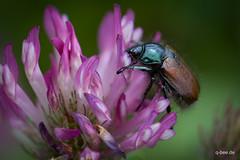 Kleekäfer (Q-BEE) Tags: flower macro closeup bug insect urlaub makro füssen schwangau