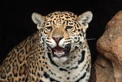 jaguar Krefeld BB2A5504 (j.a.kok) Tags: jaguar pantheraonca kat cat krefeld mammal predator zuidamerika southamerica zoogdier mato miranda