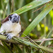 Geoffroy's tamarin monkey - wild titi monkeys gamboa panama pandemonio 2017 - 07