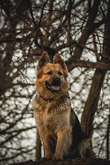 High Ground (Dekka86) Tags: dog dogs gsd germanshepherd hungary forest tree trees ground dirt happy serious play playful concentrate boy goodboy