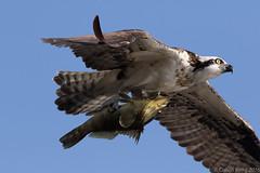 Osprey with a Fish (cal.kong) Tags: osprey fish prey raptor bolsachica detail birdinflight canon7dmarkii canon400mmf56l birdsofprey