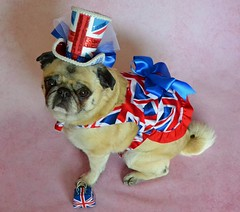Honouring My British Heritage (DaPuglet) Tags: pug pugs dog dogs pet pets animal animals costume british england liverpool uk unionjack flag unionflag hat tophat ancestors friends unitedkingdom ancestry heritage omgb 5bestdogs coth coth5 sunrays5
