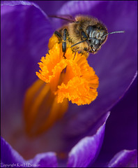 Springtime (kimbenson45) Tags: bee black brown closeup colorful colors colourful colours crocus differentialfocus flower garden insect macro nature orange outdoors petals plant purple season shallowdepthoffield spring springtime wildlife yellow appicoftheweek