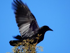 Raven Leaving Cedar Tree (starmist1) Tags: spring warmer raven cedar tree top flying leaving backyard bluesky sunshine march wings white