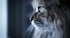 Watching The Snow Fall (Melissa M McCarthy) Tags: cat kitty pet face portrait closeup macro sigma105mm canon7dmarkii cooltemperature