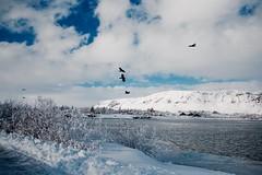 Ölfusá Selfoss (skolavellir12) Tags: selfoss iceland river snow hrafn krummi fugl bird ingólfsfjall snjór ölfusá