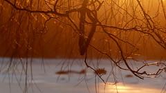 Willow twigs at golden hour (Lauttasaari, Helsinki, 20170305) (RainoL) Tags: 2017 201703 20170305 balticsea drumsö fin finland fz200 geo:lat=6015465010 geo:lon=2487357795 geotagged goldenhour helsingfors helsinki hevosenkenkälahti hästskoviken lauttasaari march nyland salix sea seashore sunset tree twig uusimaa willow winter