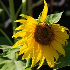 Spring forward (Riex) Tags: sunflower flower soleil fleur yellow tournesol nature a900 minoltaamount amount tamronsp70300mmf456